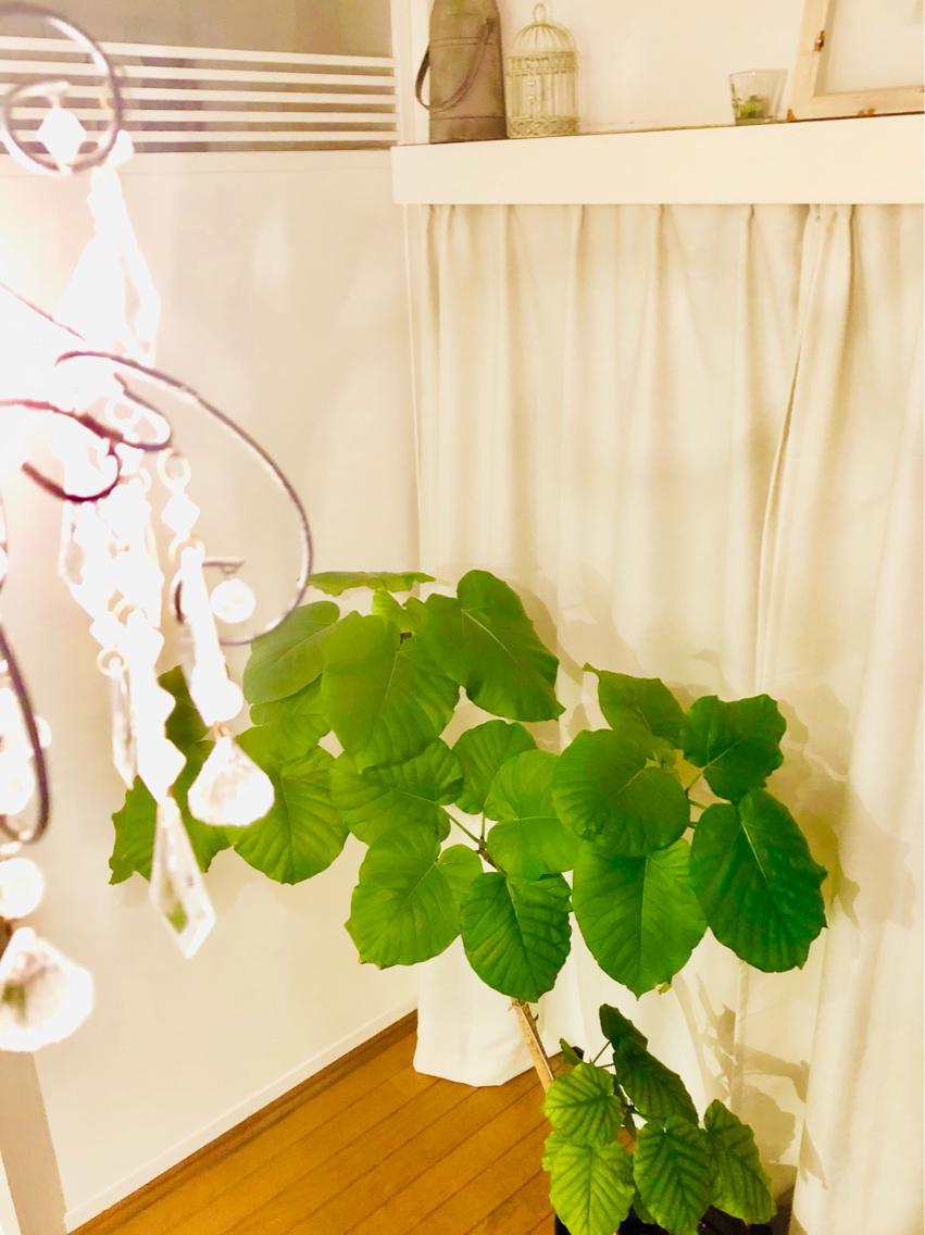 #その他 サロンのウンベラータ。とっても癒される観葉植物です。