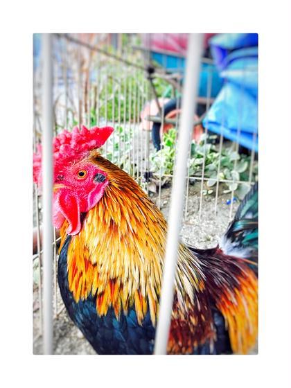 その他 セミロング ヘアアレンジ マツエク・マツパ ミディアム ロング 酉年なので 色んな事に取り組み 力強く、羽ばたこうと思います (田舎のバァーちゃん家にいた、ニワトリ)